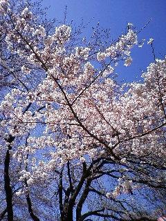 旭が丘桜情報♪