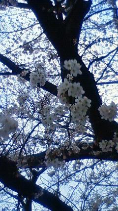 桜 満開!?