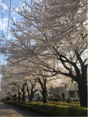 旭が丘は、桜が満開です😊