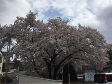 もう一度桜