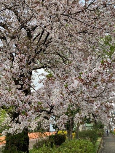 中央公園桜情報